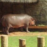 動物園のカバの食べ物は一体何!?