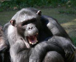 チンパンジー 人間 共通点 違い