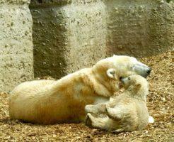 ホッキョクグマ 出産 時期