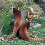 野生のレッサーパンダの生態!どんな生活をしているの?