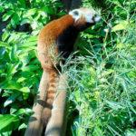 レッサーパンダの平均寿命ってどれくらいなの?
