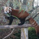 日本でレッサーパンダが見られる動物園は?日本の飼育数は世界一!?