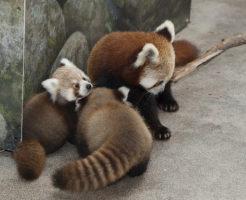 レッサーパンダ 赤ちゃん 鳴き声