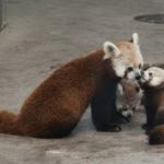 レッサーパンダの赤ちゃんの色や特徴について