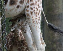 キリン 赤ちゃん 大きさ 生態