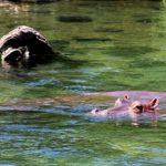 カバは水中にどれくらいの時間いられるの?呼吸方法は!?